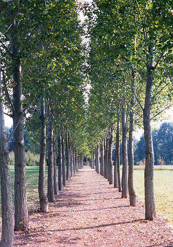 trees planted in rows